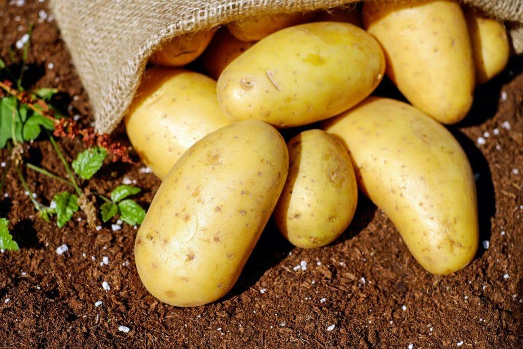 Kartoffel Anbau